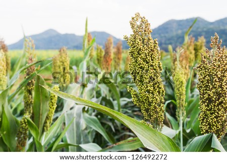 Closeup of sorghum ear on a field in Thailand
