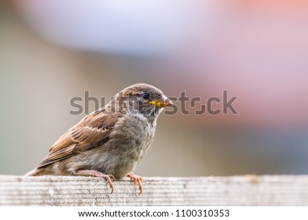 Closeup of sparrow on grey background