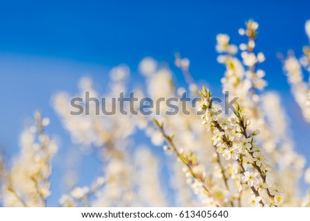 Closeup of spring blooming tree. Peaceful nature banner design