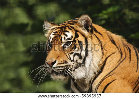 Closeup of Sumatran Tiger (Panthera tigris sumatrae)