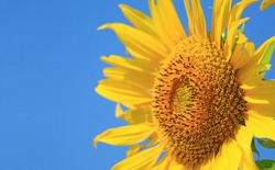 Closeup of Sunflower Disc Florets with Blurry Ray Florets in the Sunny Blue sky