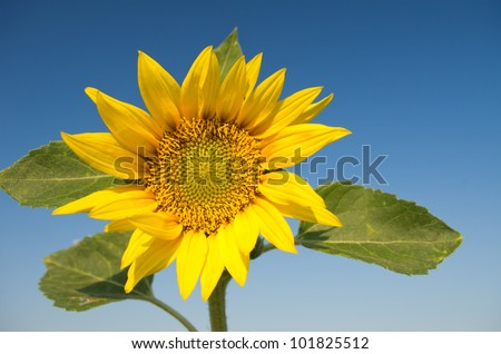 closeup of sunflower on clear blue sky