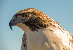 Closeup of Swainson's Hawk (Buteo swainsoni) from low angle against clear blue sky