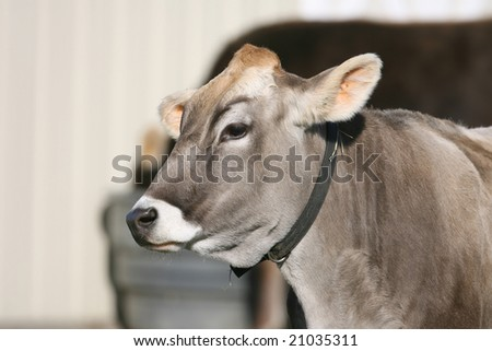 Closeup of Swiss Cow in pasture
