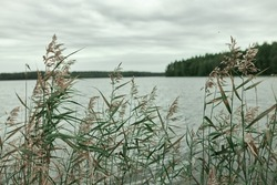 Closeup of tall green grass growing on riverbank. Fishing spot on rainy day. Hiking in wild nature. Wide panoramic view of big lake with cloudy grey sky above beautiful forests on horizon