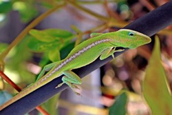 Closeup of the American Green Anole lizard / Anole Carolina / the American chameleon. An ability to change color from brown hues to bright green to disguise itself as colors of  stones & garden trees