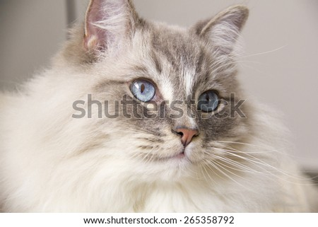 Closeup of the beautiful blue eye of a ragdoll cat. Shallow depth of field.