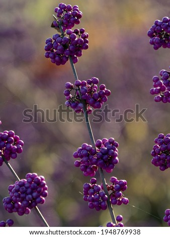Closeup of the berries of Beautyberry profusion,  Callicarpa bodinieri var. giraldii 'Profusion', in winter  Сток-фото ©
