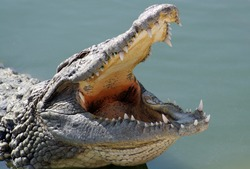 Closeup of the crocodile with open jaws.