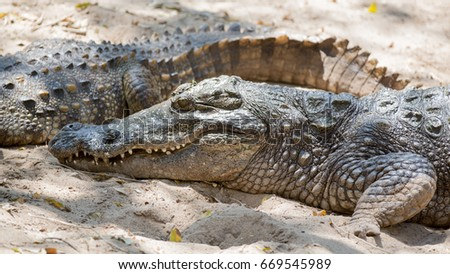 Closeup of the crocodile with open jaws or sleeping eating in or out water India #669545989