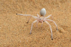 Closeup of the dancing white lady or wheel spider Carparachne cf. alba (Araneae: Sparassidae), a huntsman spider from the Namib desert, photographed in threatening posture near Swakopmund, Namibia.