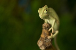 Closeup of the eyes of  baby green chameleon, focus on eye