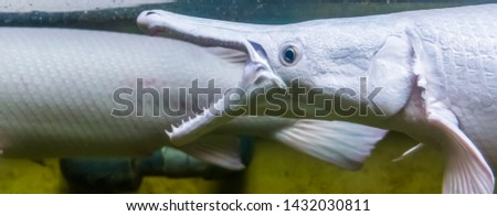 closeup of the face of a alligator gar opening its mouth, The denture of a alligator gar, fish showing its sharp teeth, tropical fish specie from America Photo stock ©