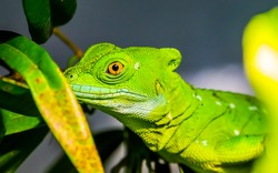 closeup of the face of a green plumed basilisk, tropical reptile specie from America