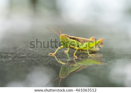 closeup of the green grasshopper, macro nature of insects #461063512