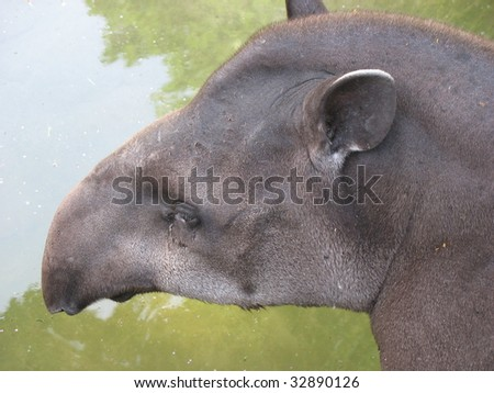 Closeup of the head of a Brazilian tapir (against the background of water)