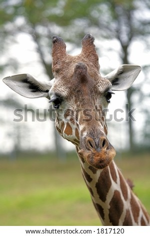 Closeup of the head of a giraffe staring at you
