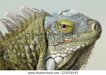 Closeup of the Head of a Green Iguana