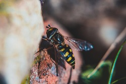 Closeup of the hoverfly sitting at stone