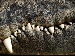 closeup of the mouth and teeth of a crocodile