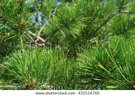 Closeup of the needles of pine with a shallow depth of field. Daylight #432516760