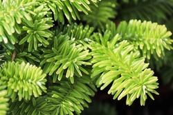 Closeup of the needles on a dwarf balsam fir
