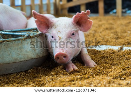 Closeup of the pig in the farm