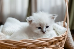 Closeup of the snout of a British shorthair kitten of silver color sleeping in a wicker basket. Siberian nevsky masquerade cat color point. Pedigree pet. High quality photo