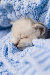 closeup of the snout of a sleeping british shorthair kitten of silver color buried in a blue knitted blanket. Siberian nevsky masquerade cat color point. High quality photo