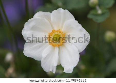 Closeup of the stamens of the anemome Honorine Jobert #1179896836
