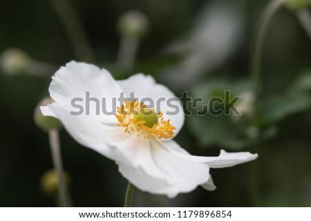 Closeup of the stamens of the anemome Honorine Jobert #1179896854