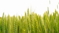 Closeup of the Wheat plants ear or pods in sunset sky background. Unripe green wheat plants growing in large farm field. insects feeding crops in rural villages India