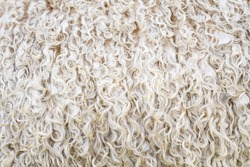 Closeup of the white woolly, curly coat of a sheep, as a textured nature background
