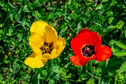 Closeup of the wild tulips at the countryside meadow