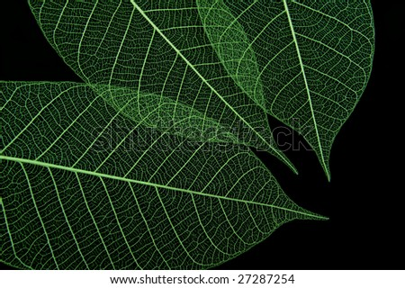 Closeup of three green leaves on black background