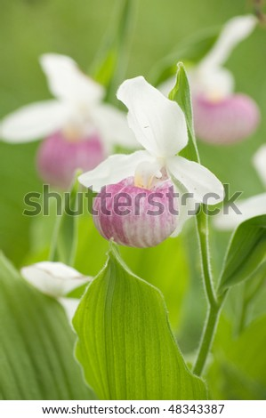 Free photos pink and white lady slipper orchid flower cypripedium closeup of three lady slippers 48343387 pink and white lady slipper orchid flower mightylinksfo
