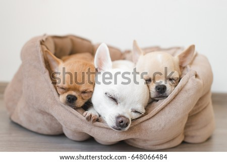Closeup of three lovely, cute domestic breed mammal chihuahua puppies friends lying, relaxing in dog bed. Pets resting, sleeping together. Pathetic and emotional portrait. Dog ears, eyes and facesþ