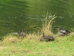 Closeup of three mallard ducks resting on seashore grass and another one swimming in dark green seawater in Tawhitokino Regional Park of Auckland New Zealand
