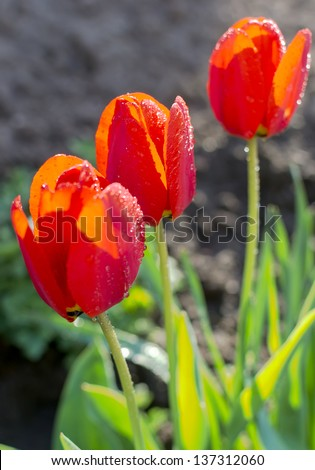 Closeup of three red tulips in the garden of the village