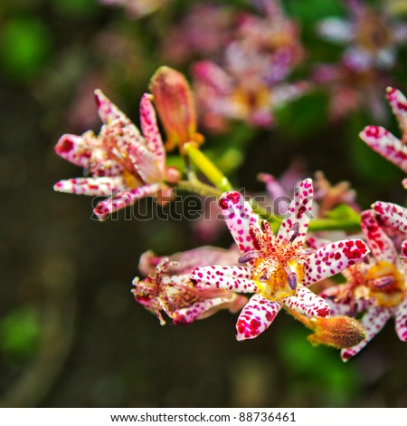Closeup of toad lily flowers, Tricyrtis formosana. This easily grown perennial provides a colourful show of unusual flowers in autumn.