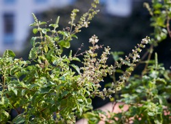 Closeup of tulsi (holy basil, Ocimum Tenuiflorum), an aromatic plant widely cultivated throughout Indian subcontinent and widely used in Hindu religious and medicinal purposes.