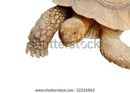 Closeup of turtle on isolated white background
