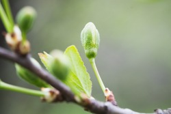 Closeup of twigs with leaf buds ready to burst. Young nature waking up at spring time with tree branch full of buds and small leaves, nature concept. The awakening of spring and nature beauty
