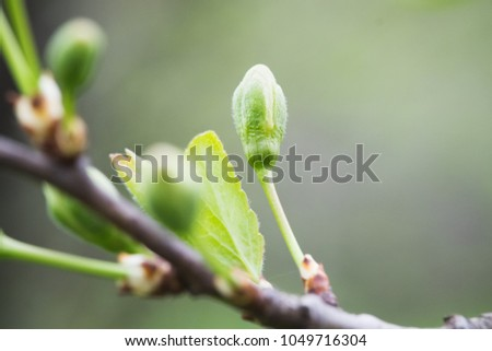 Closeup of twigs with leaf buds ready to burst. Young nature waking up at spring time with tree branch full of buds and small leaves, nature concept. The awakening of spring and nature beauty #1049716304
