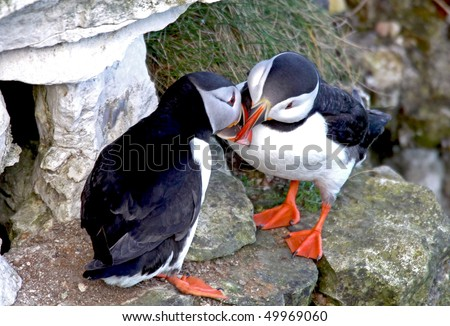 Closeup of two affectionate puffin sea birds kissing.