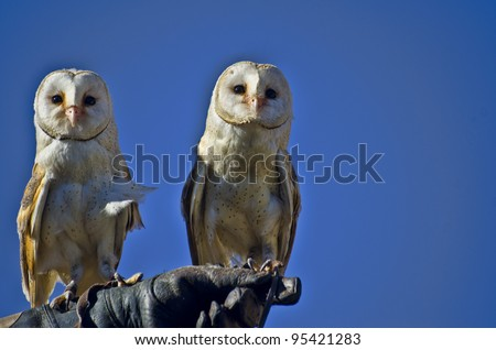 Closeup of two Barn Owl