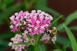 Closeup of two common Eastern Bumble Bees on swamp milkweed wildflower. Concept of insect and wildlife conservation, habitat preservation, and backyard flower garden