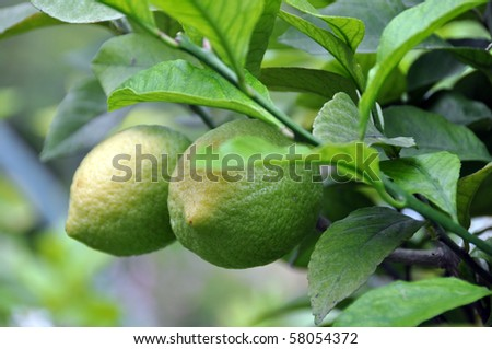 Closeup of two fresh lemon fruits on the tree - yellow on top where the sun touches most, still green with the rest