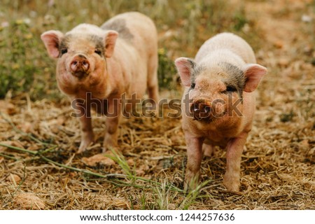 Closeup of two little piglets standing on a wild meadow.