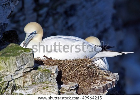 Closeup of two nesting Northern Gannet birds on cliff.